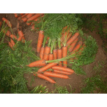 Fresh Healthy Carrot With Good Quality